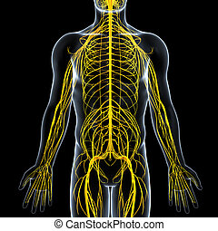 Nervous system of male body