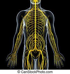 Nervous system of male body - 3d rendered illustration of...