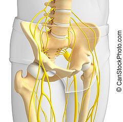 Nervous system of pelvic skeleton artwork - Illustration of...