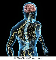 Nervous system - The nervous system is the part of an animal...