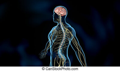 The nervous system is the part of an animal's body that coordinates its voluntary and involuntary actions and transmits signals between different parts of its body