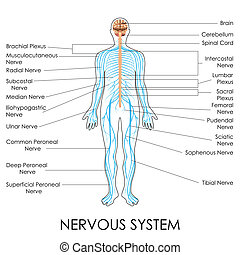 Nervous System - vector illustration of diagram of nervous...