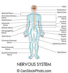 Nervous System - vector illustration of diagram of nervous ...