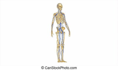 nerw, arterie, szkielet