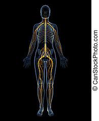 nerwowy system, samica