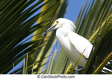 Nest Building 5 - Snowy egret with a stick in its beak for ...