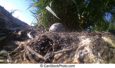 nest of a seagull with egg wild nature