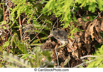 Nest of baby green heron Butorides virescens wading birds in...