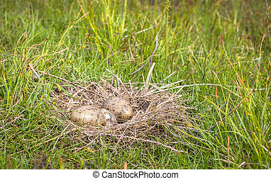 Nest of the Common Gull Larus canus with two eggs, one is...