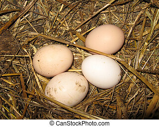 Nest of the hen with four eggs