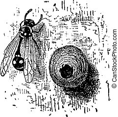 Nest of the Potter Wasp or Eumenes sp., vintage engraving