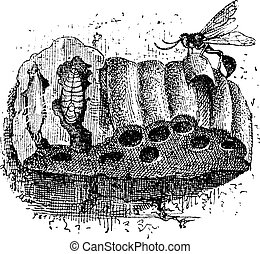 Nest of the Sphecid Wasp or Sceliphron spirifex, made of mud, cell cross-section shows a larvae, vintage engraved illustration. Dictionary of Words and Things - Larive and Fleury - 1895