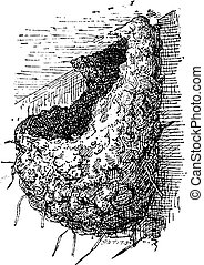 Nest of the Swallow or Hirundinidae, vintage engraving