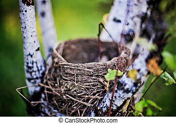 Nest of thrush on the birch in the forest