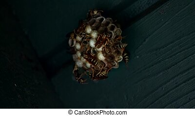 Nest of Wasps - Guarded nest of yellow black striped wasps...