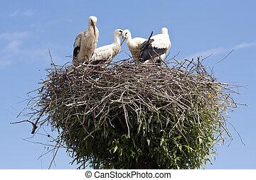 nest, stork's, junger, störche