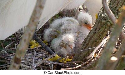 Nest with chicks close-up.