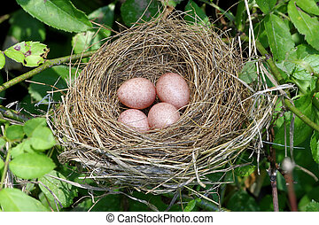 Nest With Eggs - Grass nest with four small eggs in a tree...