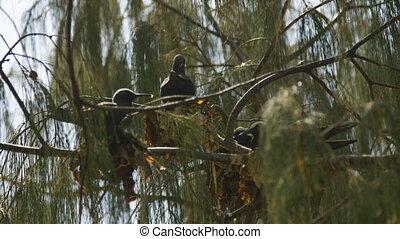 Nesting Black Noddy, Lady Elliot Island