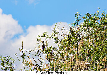 Nesting great cormorants on dried up tree