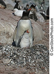 Nesting penguin and chick in Antarctica