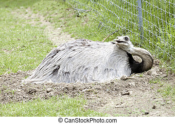 A male rhea bird laying on a nest of eggs on the ground by a chain link fence.