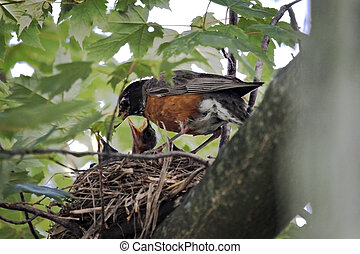 Nesting Robins - Adult robin feeding new hatchlings