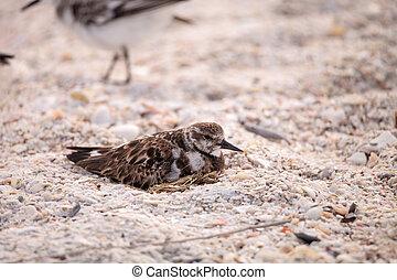 Nesting Ruddy turnstone wading bird Arenaria interpres along...