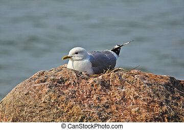 Nesting seagull - Nesting Seagull