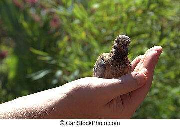 Nestling is sitting on the hand of man