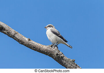 nestling of shrike sitting on dry branch
