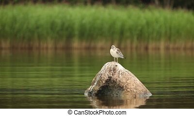 nestling of silvery seagull (Larus argentatus) in wildlife -...