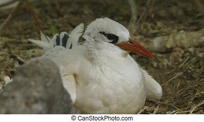 Nestling Red-Billed Tropicbird, Lady Elliot Island - Extreme...