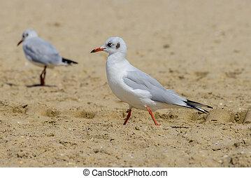 Nestling seagull