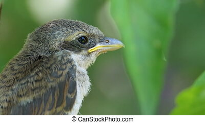 Nestling sitting on a tree branch in green forest. Close-up of eyes, beak, and plumage. Portrait of Little bird baby on Background of Green leaves. Chick just flew out of nest. Muzzle of Animal Macro.