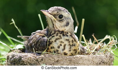 Nestling thrush Fieldfare in a nest - Nestling thrush...