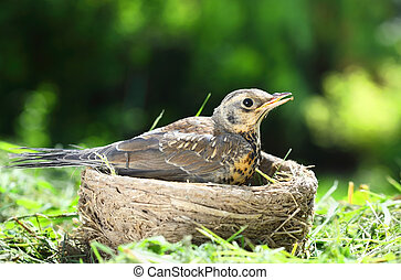 Nestling thrush Fieldfare sitting in a nest on a sunny summer day