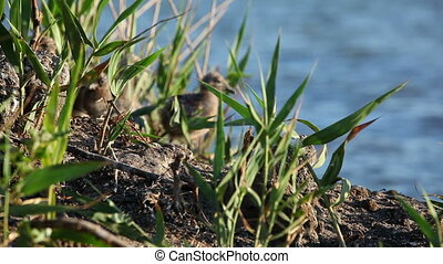 nestlings gulls, shallow depth of field 2
