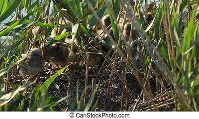 nestlings gulls, shallow depth of field 4