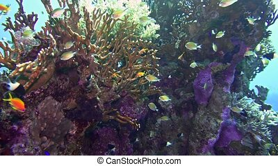 Net Fire Coral Millepora dichotoma , Glare of sunlight on...