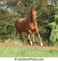 nett, kastanie, pferd, rennender , in, freiheit, und,...