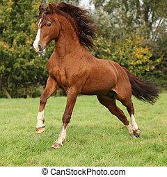 nett, kastanie, walisisch, pony, hengst, springende