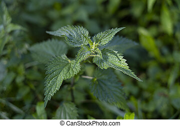 Nettle in nature. Urtica dioica