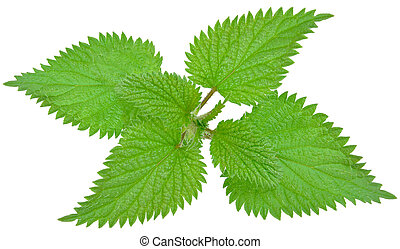 nettle leaf on a white background