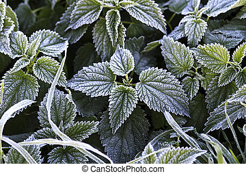 nettle leaves covered with frost