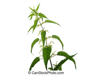 Nettle on a white background