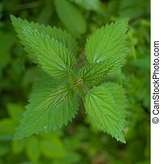 nettle plant viewed from above. Nettle is the common name for between 30-45 species of flowering plants of the genus Urtica in the family Urticaceae. The most prominent member of the genus is the stinging nettle Urtica dioica, native to Europe, Africa, Asia, and North America.