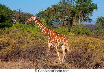 netvormig giraffe