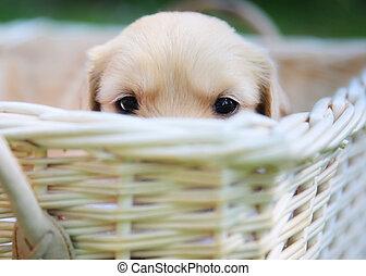 neugierig, junger Hund, goldenes, Apportierhund