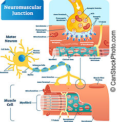 Neuromuscular junction vector illustration scheme. Labeled cell infographic